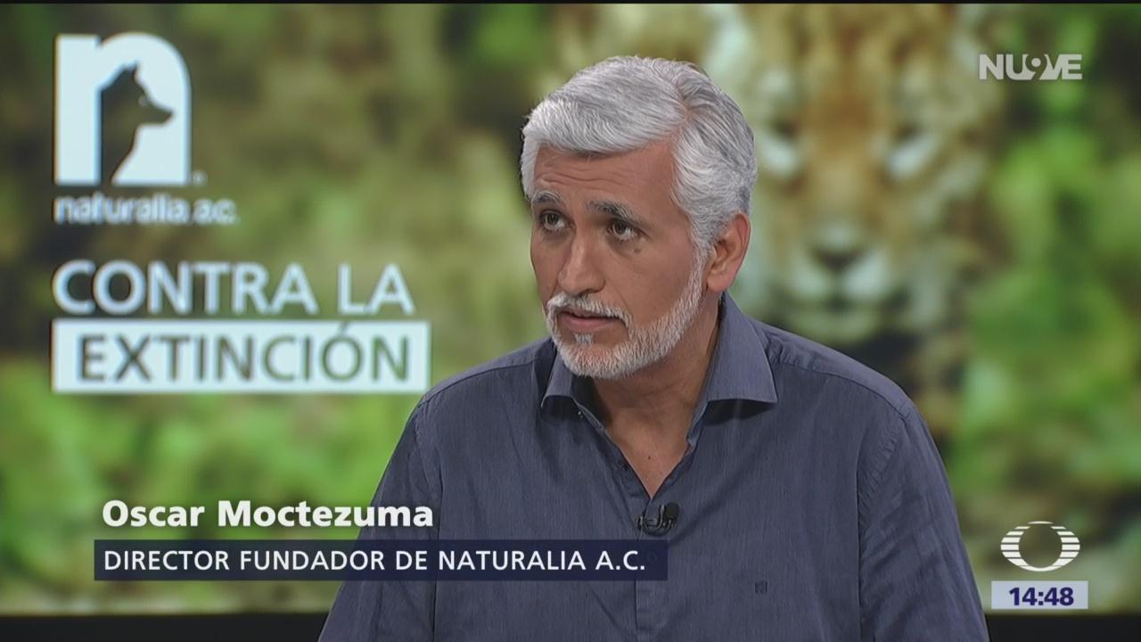 Foto: Crisis de extinción de especies del jaguar y vaquita marina