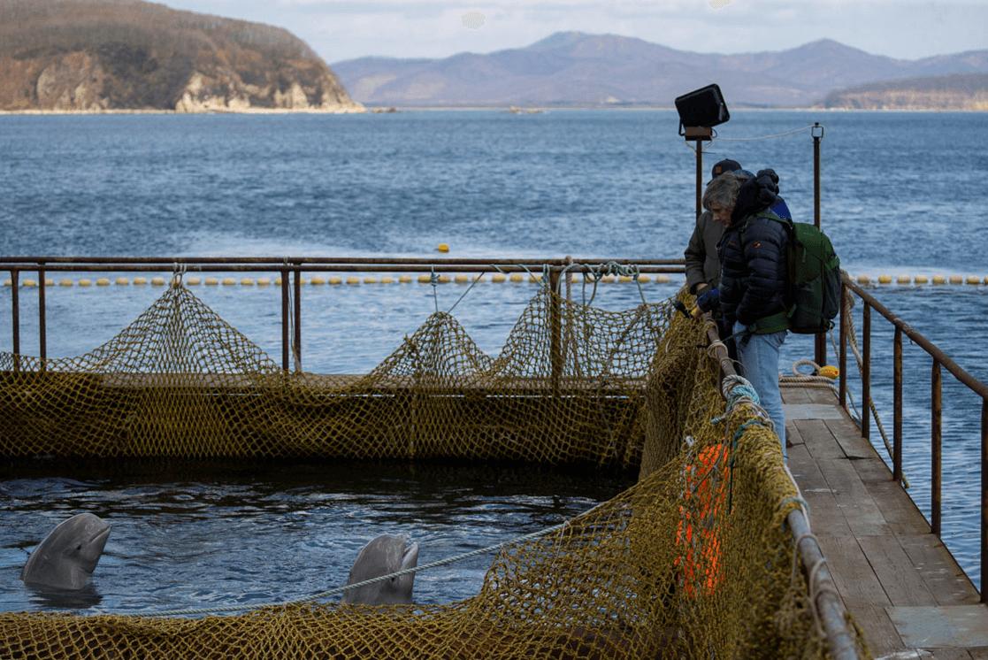 Foto: Delfines en la llamada 'cárcel de ballenas' en Rusia, 7 de abril de 2019, Rusia