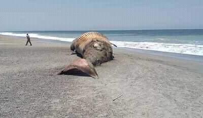 Ballena y delfín aparecen muertos en playas de Oaxaca