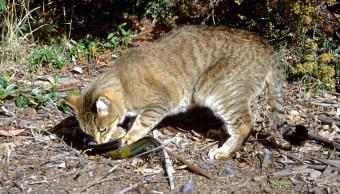 gatos-ferales-especies-nativas-exterminio-Australia