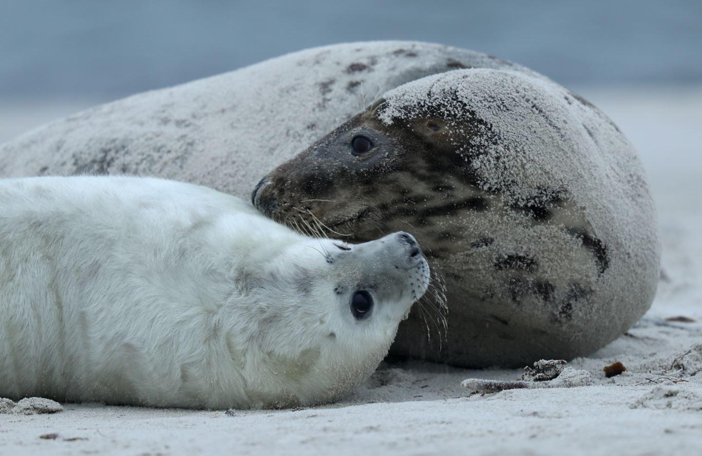 La cacería de focas en el Atlántico norte de Canadá es limitada a cierto número de ejemplares cada año. En 2016, la cacería fue limitada a 450 mil (GettyImages Archivo)
