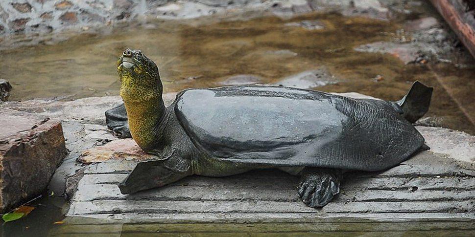 La hembra de 90 años falló e n reproducirse a través del ejemplar macho que la acompañaba en el zoológico (SixthTone/Archivo)