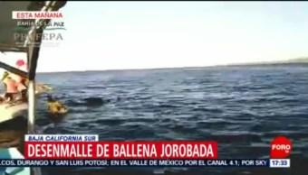 Foto: Liberan Ballena Jorobada Malla Totoabera 3 de Abril 2019