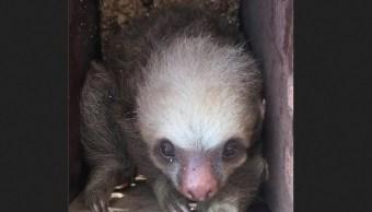 Foto: Rescatan monos cara blanca y osos perezosos en Chiapas, 17 de abril 2019. Twitter @PoliciaFedMx