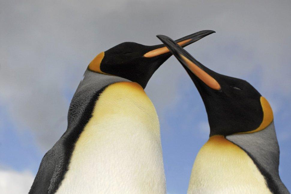 foto pinguino emperador adulto caracteristicas