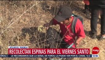 Recolectan espinas en Atlixco, Puebla, para el Viernes Santo