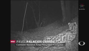 Foto: Avistamiento Jaguar Macho Bosque Oaxaca 8 de Abril 2019