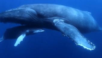 FOTO Ballenas de Baja California Sur, gigantes del mar (Por el Planeta/Noticieros Televisa abril 2019)