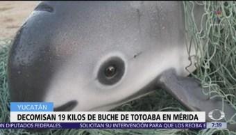 Decomisan 19 kilos de buche de totoaba en Mérida