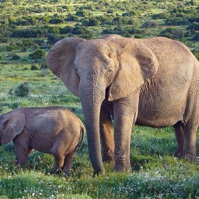 Mamá elefante mata a aldeano que la apedreó a ella y a su cría