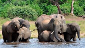 Elefantes-caza-furtiva-Botsuana-prohibicion-caza