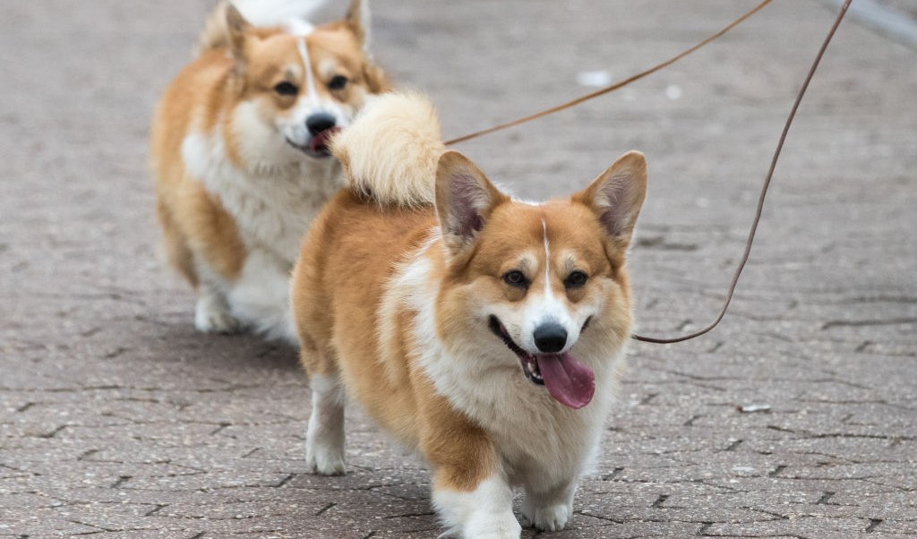 foto Perros de la raza corgi 10 de marzo de 2017