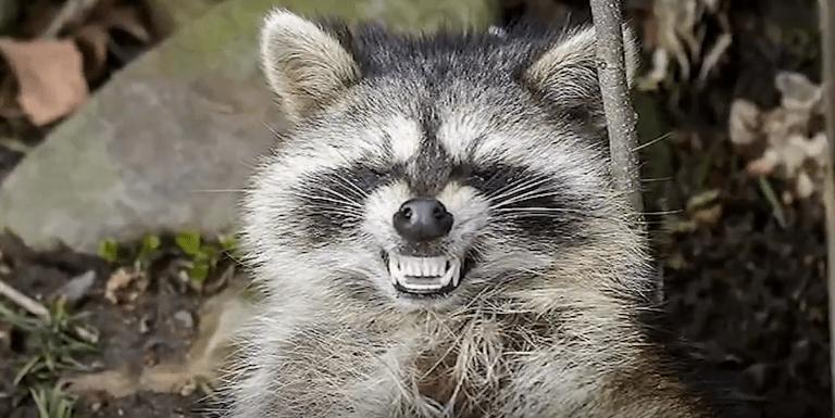 FOTO Zombies en Chicago: Son mapaches con moquillo (ABC7 mayo 2019)