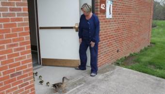 Foto Mamá pato va al mismo hospital cada año a poner huevos y cuidar a sus crías 21 mayo 2019