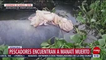 FOTO: Pescadores encuentra manatí muerto en Veracruz, 28 MAYO 2019