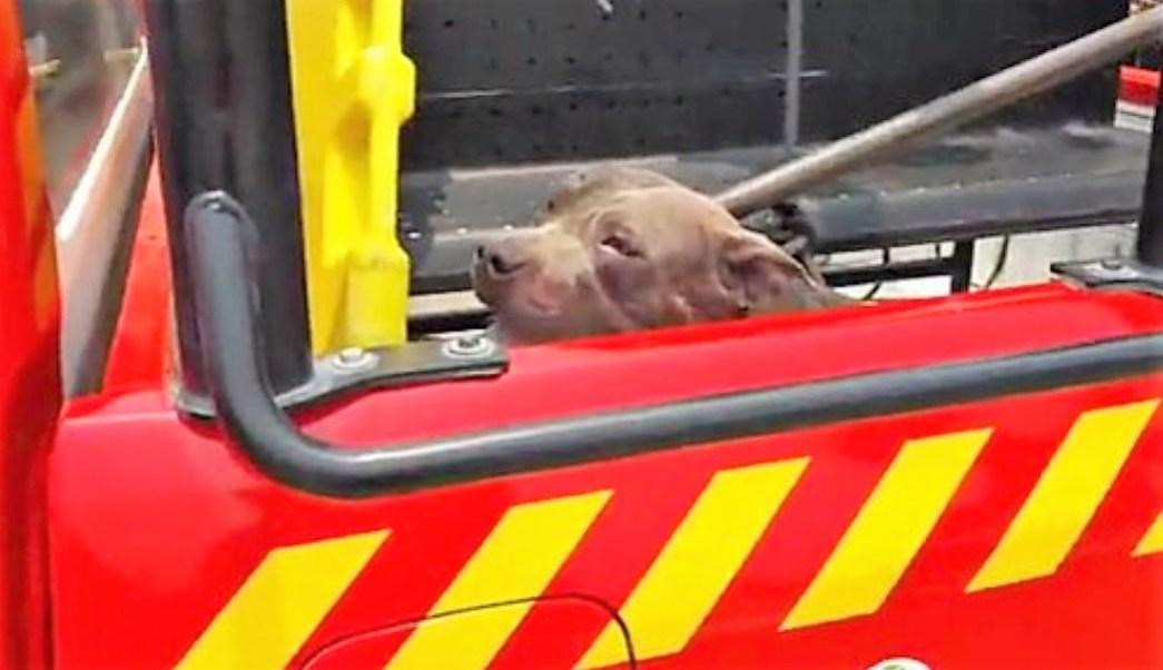 Pitbull ataca y mata a una niña de cuatro años en Puebla