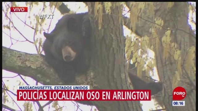 Policías localizan oso en Arlington, Massachusetts
