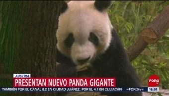 Foto: Presentan nuevo panda gigante en Zoológico de Viena