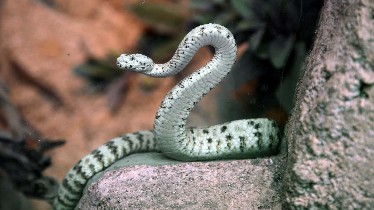 FOTO Serpientes causan más de 100 mil muertes cada año, dice OMS (AP 13 mayo 2014 california)