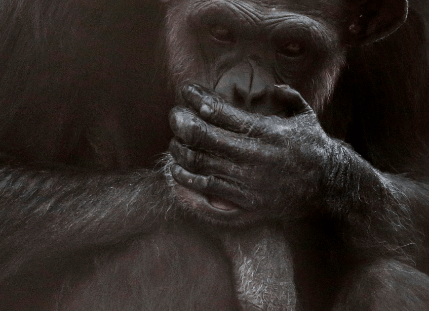FOTO Tortugas, botana para chimpancés libres en la naturaleza (AP 21 septiembre 2016 estados unidos)