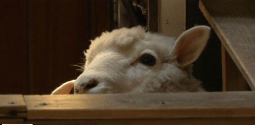 Foto: Inscriben a ovejas en escuela de Francia, mayo de 2019