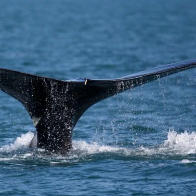 Japón reanuda caza comercial de ballenas después de 30 años