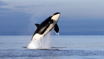 Foto de archivo de una orca hembra en peligro de extinción, 12 junio 2019