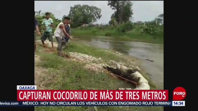 FOTO: Capturan cocodrilo de más de 3 metros en Oaxaca