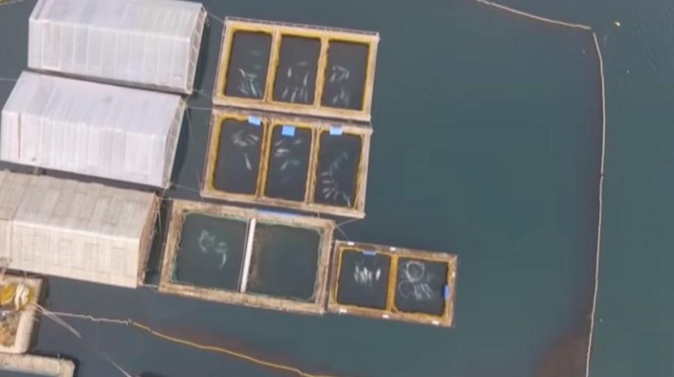 """En la """"cárcel de ballenas"""" aún quedan 81 belugas, 9 orcas y 5 crías de morsa. (Foto: @ActualidadRT)"""