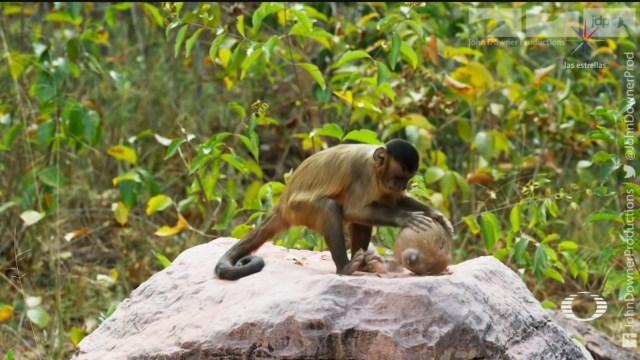 Foto: Científicos Descubren Monos Usan Herramientas Hace 3 Mil Años 26 Junio 2019