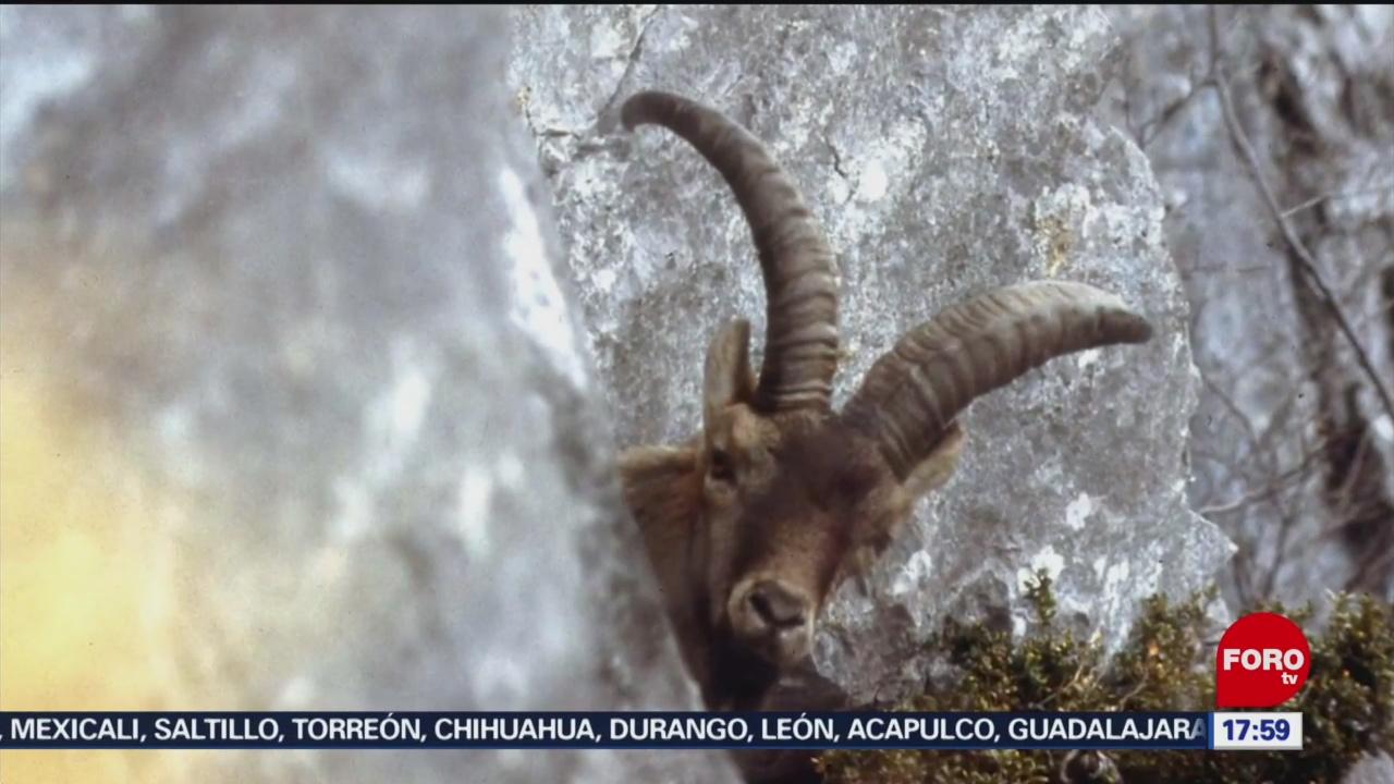Foto: Documentan recuperación de especie extinta mediante clonación