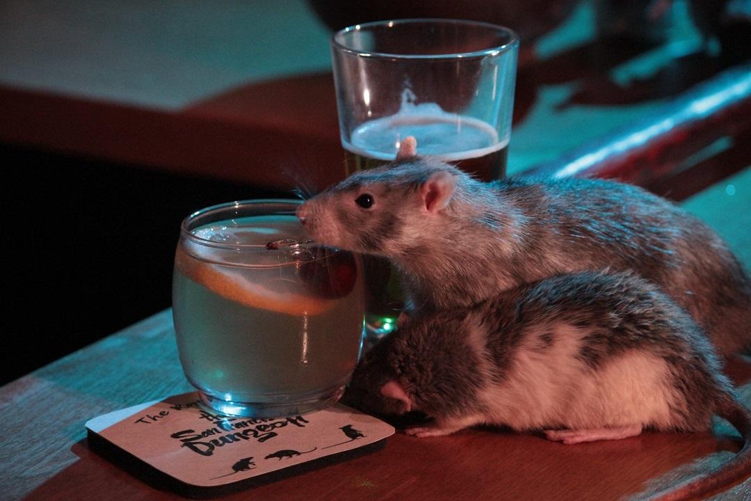 Foto: Ratas tomando una bebida en el bar San Francisco Dungeon. El 10 de junio de 2019