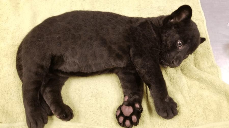 Foto Bebé jaguar nace en el zoológico de Culiacán 4 junio 2019
