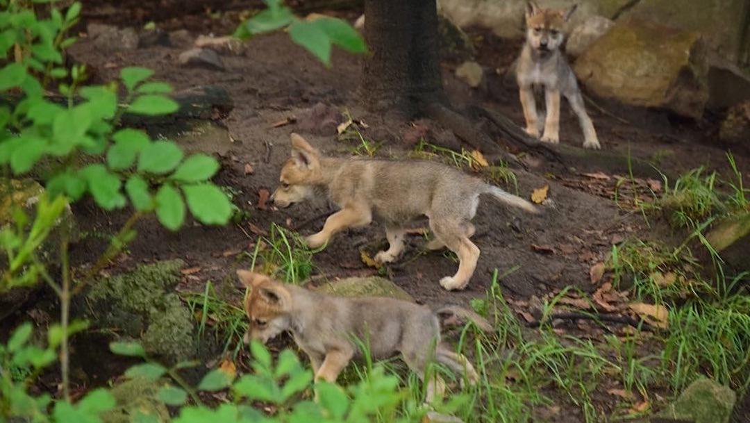 lobo-mexicano-nacen-crias-Zoologico-Chapultepec-cachorros