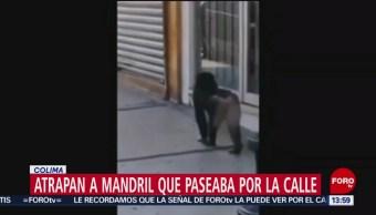 FOTO: Mandril escapa y se pasea por las calles en Colima, 17 Junio 2019