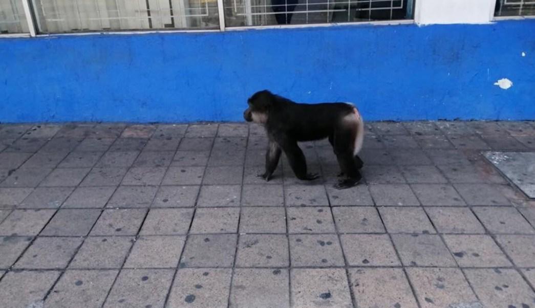 Foto: Un mono es visto caminar por las calles del centro de la ciudad de Colima en la calle Nigromante, paralela al Jardín Libertad, junio 15 de 2019 (Twitter: @obobadilla)