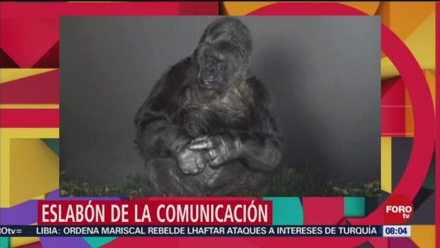 FOTO: Muere 'Koko', la gorila que dominaba el lenguaje a señas, 29 Junio 2019