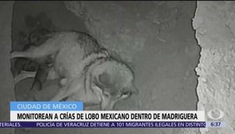 Primeras imágenes de nacimiento de lobos en Zoológico de Chapultepec