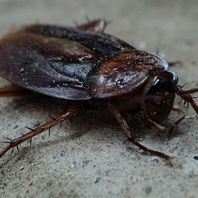 Cucarachas se están volviendo