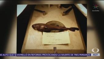 Descubren mini tiburón luminiscente en Golfo de México