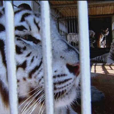 PVEM responsabiliza a circos y autoridades por no proteger a los animales