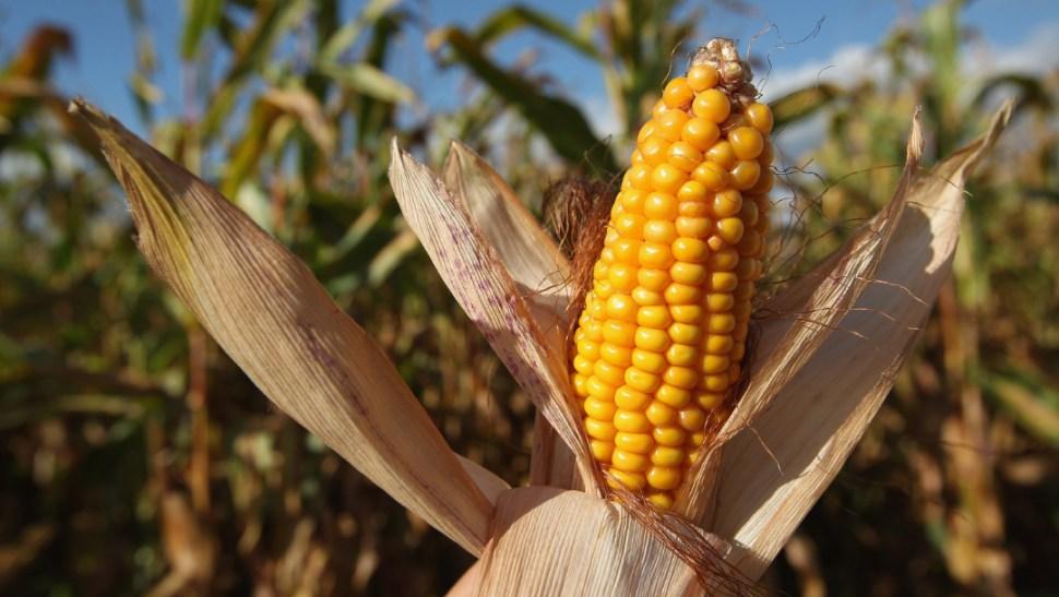 foto cultivo de maiz 3 julio 2019