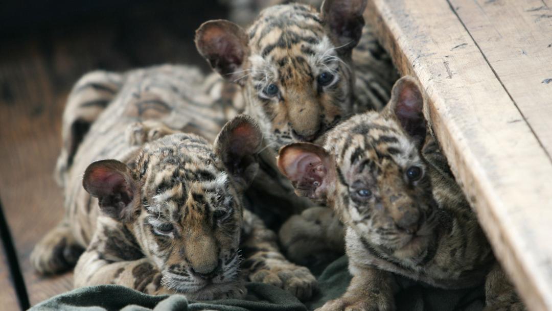 cachorros de tigre siberiano.