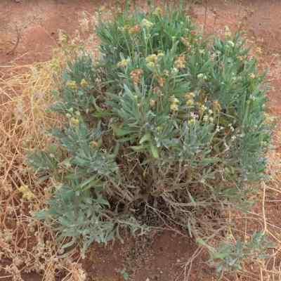 Investigadores usan planta mexicana como antiinflamatorio y anticancerígeno