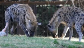 Foto: Las hienas son animales africanos, en México solo hay en zoológicos, 19 de julio de 2019 (Sedema)