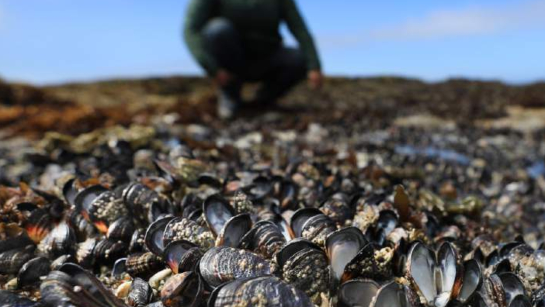 FOTO Mejillones se cocinan en rocas de Bodega Bay, California, por el calor (Kent Porter/The Press Democrat)