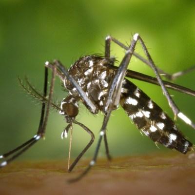 Científicos hacen infértiles a mosquitos que transmiten el dengue