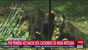 Nacen cachorros de hiena moteada en el Zoológico de Chapultepec