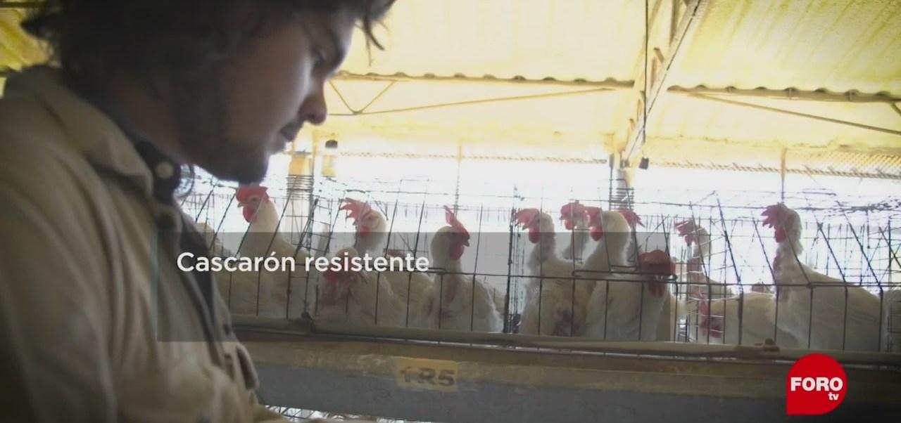 FOTO: Resistencia de huevos de gallinas con suplementos, 7 Julio 2019