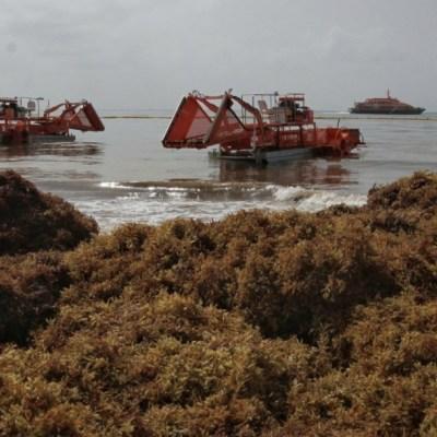 Arribo masivo de sargazo sigue en las playas de Quintana Roo